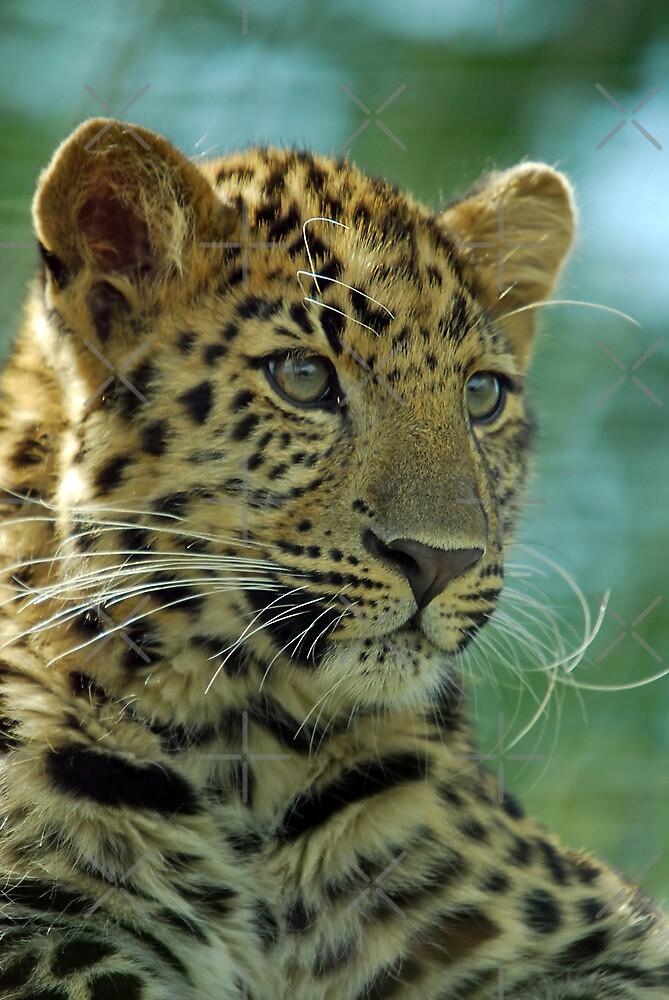 Amur Leopard Portrait- (Panthera pardus orientalis)  by Robert Taylor