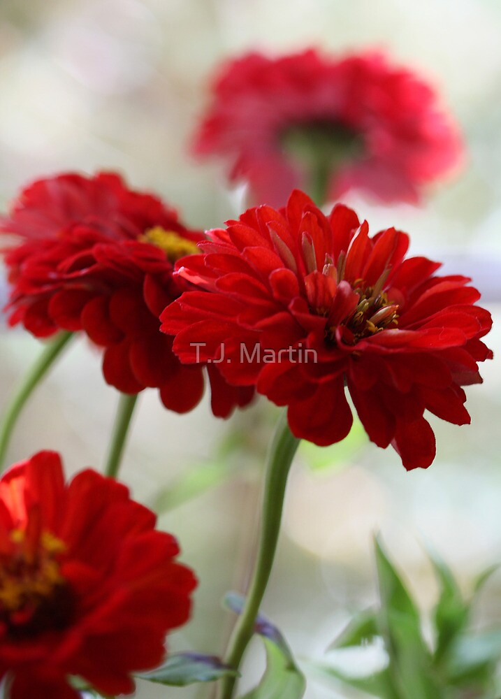 Red Zinnias - In A Vase By The Window by T.J. Martin