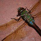 dragonfly photo 3 by Raina DeVaney