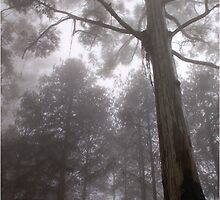 """IN """"MEMORY LANE"""" - A BLUE-GUM TREE in the mist by Magriet Meintjes"""