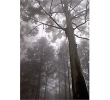 """IN """"MEMORY LANE"""" - A BLUE-GUM TREE in the mist Photographic Print"""