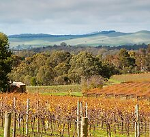 Autumn Vines of the Barossa by John Wallace