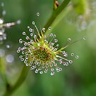 ~ Tall Sundew ~ by LeeoPhotography