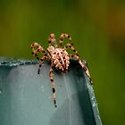 cool spider by Dawn Barger