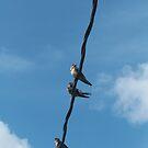 Swallows by elasita