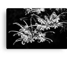 198308280007 Grevillea Flower group BW Canvas Print