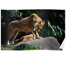 Lion Bath Poster
