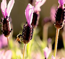 Springtime Bee on Spanish Lavender in Sydney Australia by Rosebuds
