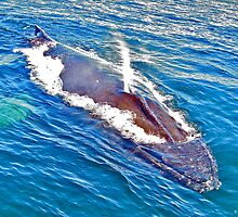 Humpback Whale, Petite Passage by David Davies