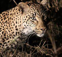 Leopard(kikilezi) on the hunt by jozi1