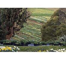 The Daffodil Fields Photographic Print