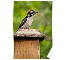 Downy Woodpecker. Poster