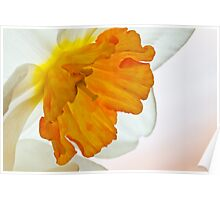 Daffodil Flower 2 Poster