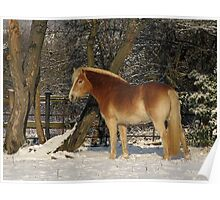 Haflinger in the snow Poster