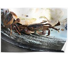 catching crabs Poster