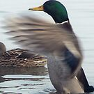 Having a stretch (Mallard Duck) by Trevor Kersley
