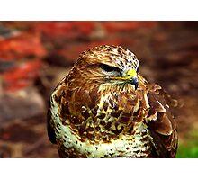 Buzzard (Buteo Buteo) - Bird of Prey Photographic Print