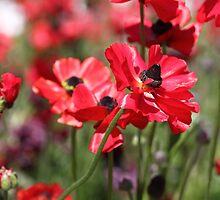 Red Poppies by yolanda
