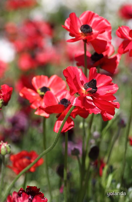 Red Poppies by yolanda