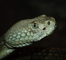 Pit Viper Up Close by marilynwood