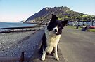 Indy on Llanfairfechan Promenade by Michael Haslam
