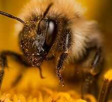Common carder bumblebee (Bombus pascuorum) by DavidKennard