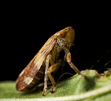 Leaf Hopper by Carl Reid