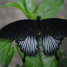 Low's Swallowtail by Dorothy Thomson