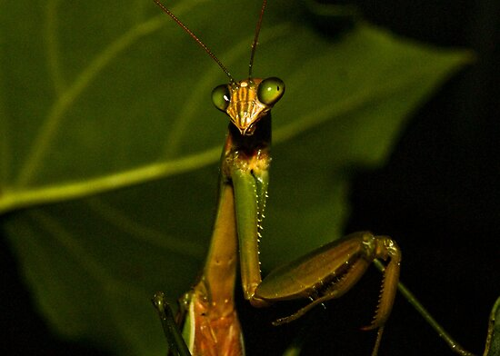 Mantis! by RichOxley