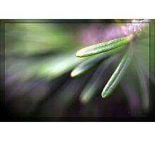 Fir tree needle Photographic Print