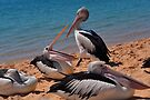 Pelicans of Monkey Mia by Miles Moody