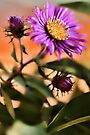 New England Fall Aster by T.J. Martin