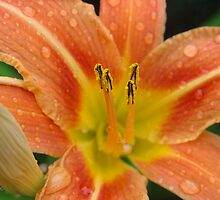 Orange Lily by aneyefornature