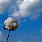 Cotton Balls x 2 by Dave Parrish