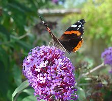 Admiral Butterfly on Buddleia Flowers by aneyefornature