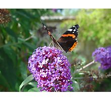 Admiral Butterfly on Buddleia Flowers Photographic Print