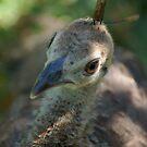 Baby peacock by loiteke