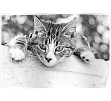 One tabby kitten lying on the wall.. Poster