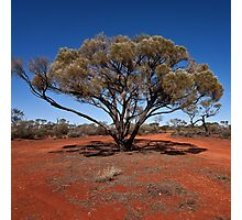Outback tree near Uluru Photographic Print