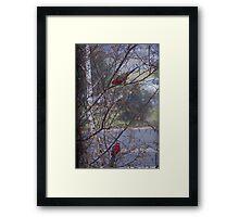 Rainy Rosellas Framed Print