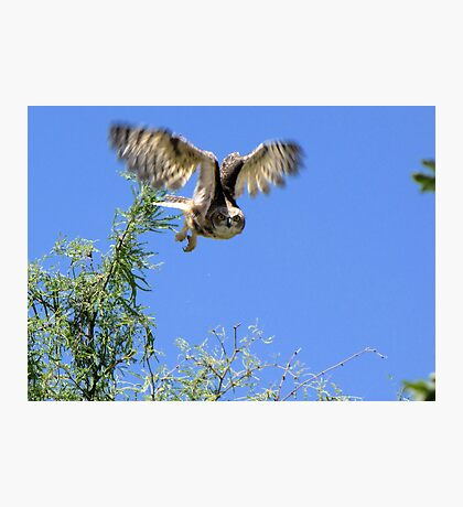 Great Horned Owl ~ Sherry's Juvenile Photographic Print