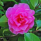 Camellia Pink by Marylamb