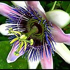 passiflora by Tess Buckler