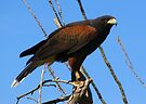 Harris's Hawk ~ Captive by Kimberly Chadwick
