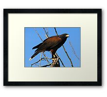 Harris's Hawk ~ Captive Framed Print
