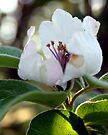 Quince blossoms?Kweper bloeisels by Antionette