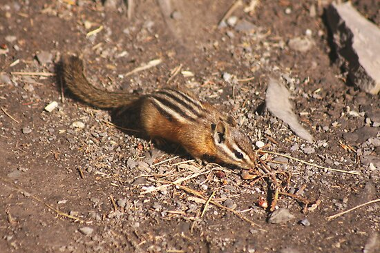 Least Chipmunk by sarah ward