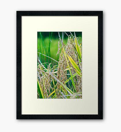 rice close up Framed Print