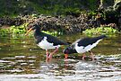 Paddling - Pied Oystercatchers by Ian Berry