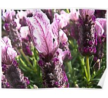 """luscious lavender Poster"